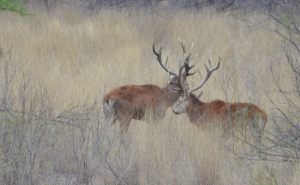 Red Deer 8