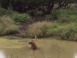 Red Deer 1