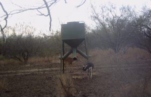 Blackbuck Antelope 1