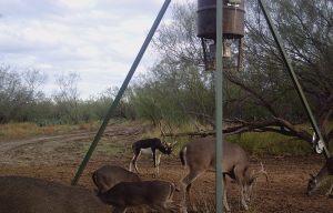 Blackbuck Antelope 2