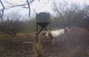 Oryx 4